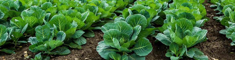 蔬菜肥料供應商 - 升福生技