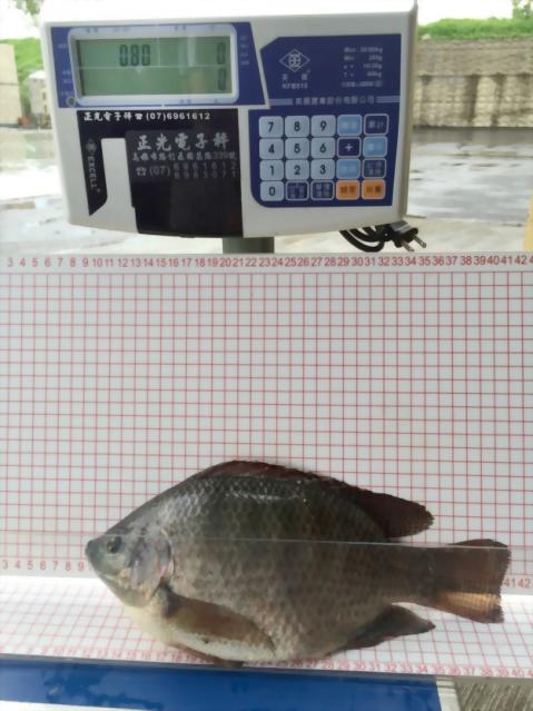 飼養尼羅魚試驗流程表-升福生技1