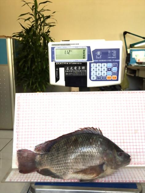 飼養尼羅魚試驗流程表-升福生技2