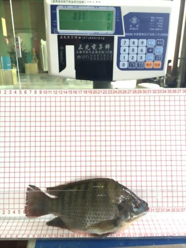 飼養尼羅魚試驗流程表