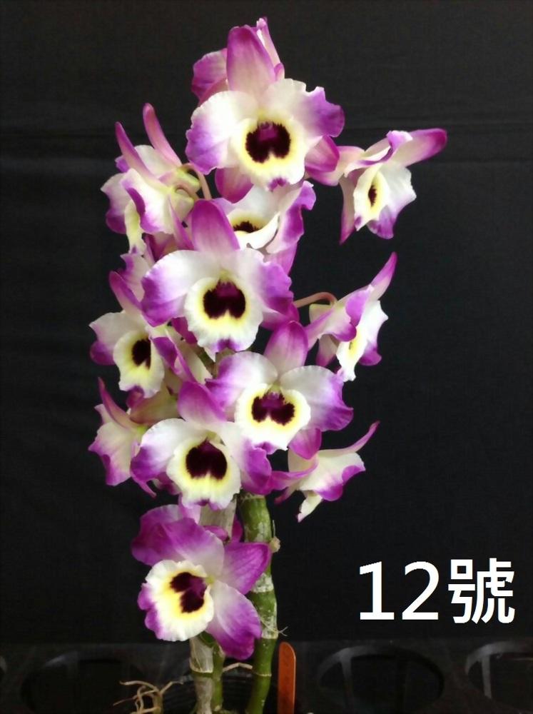 TWM-SL12 Dendrobium. Tian mu Naughty leopard