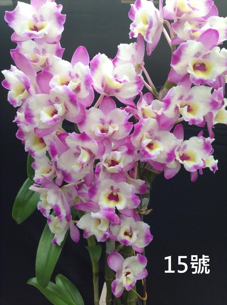 TWM-SL15 Dendrobium. Tian mu panda