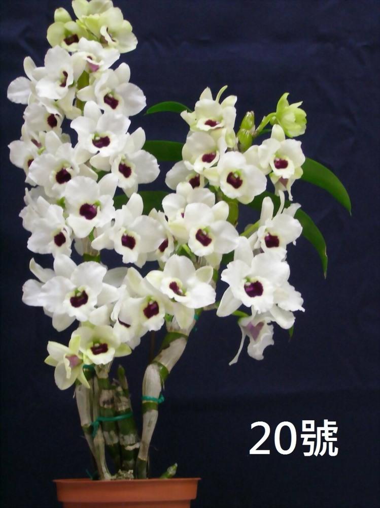 TWM-SL20 Dendrobium. Tian mu diamond 20