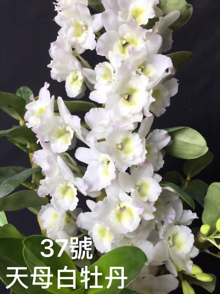 TWM-SL37 Den.Tianmu White peony
