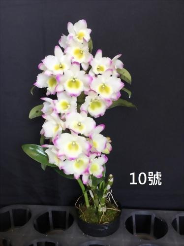 TWM-SL10 Dendrobium. Tian mu Green diamond