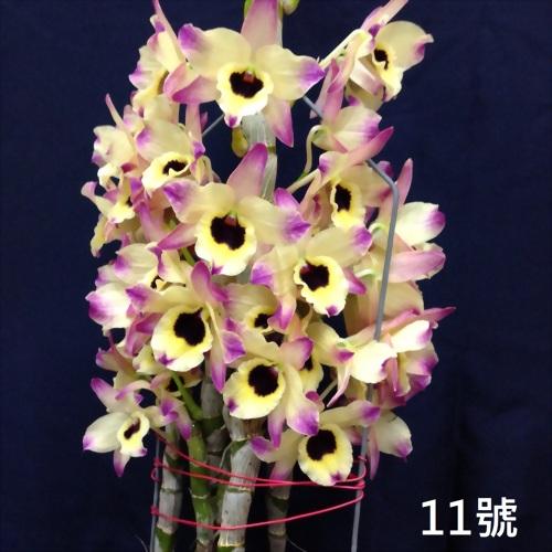 TWM-SL11 Dendrobium. Tian mu rainbow 11