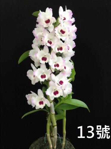 TWM-SL13 Dendrobium. Tian mu diamond 13
