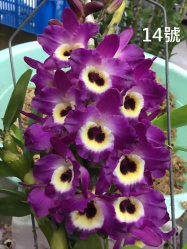 TWM-SL14 Dendrobium. Tian mu