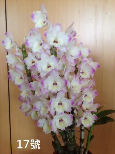 TWM-SL17 Dendrobium. Tian mu pearl